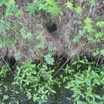 Water vole burrow